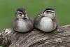 Wood Duck (Aix sponsa)