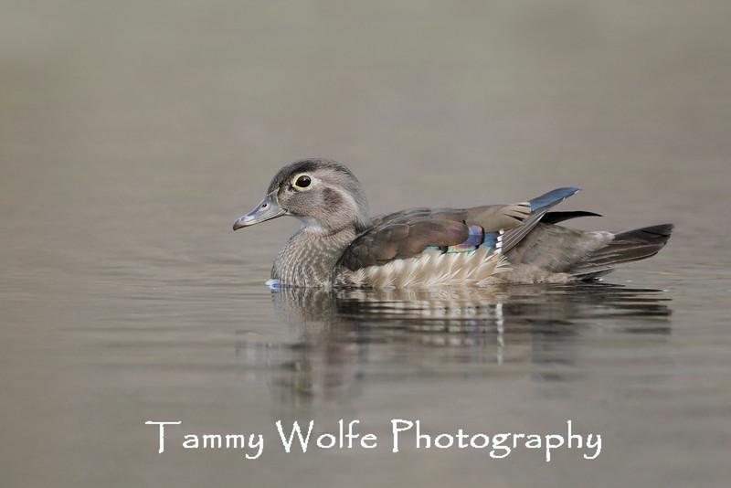 Female Wood Duck (Aix sponsa)