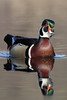 Wood Duck (Aix sponsa)