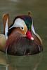 Mandarin Duck (Aix galericulata)*