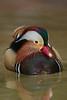 Male Mandarin Duck (Aix galericulata)*