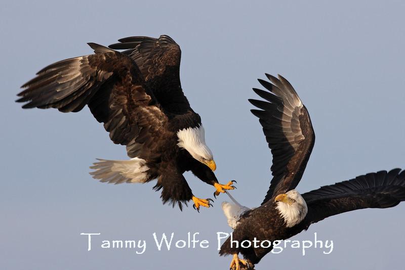 Bald Eagles (#6666)