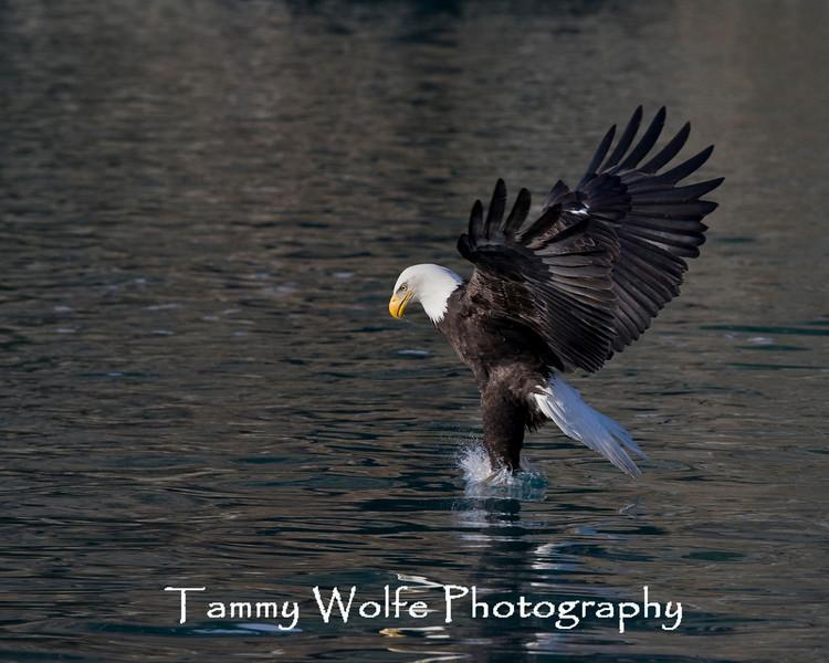 Bald Eagle (#7568)