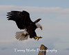 Bald Eagle (#6044)