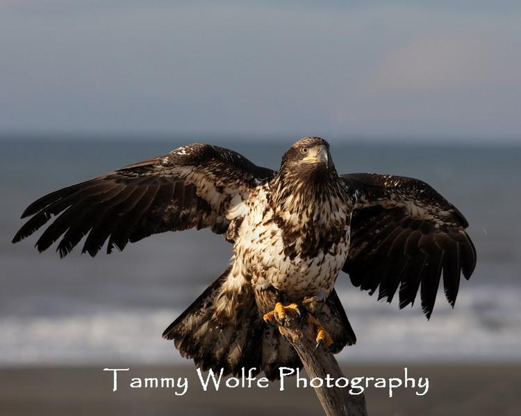 Immature Bald Eagle (#5909)