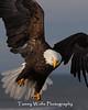 Bald Eagle (#5794)