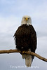 Bald Eagle (#5090)