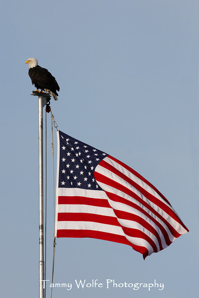 Bald Eagle Perching on a Flag Pole