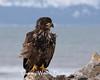 Immature Bald Eagle (#6076)