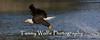 Bald Eagle in Flight (#8516)