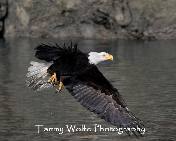 Bald Eagle in Flight (#7696)
