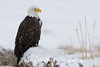 Bald Eagle in Falling Snow