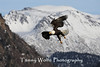 Bald Eagle in Flight with Snow Covered Mountain in the Background