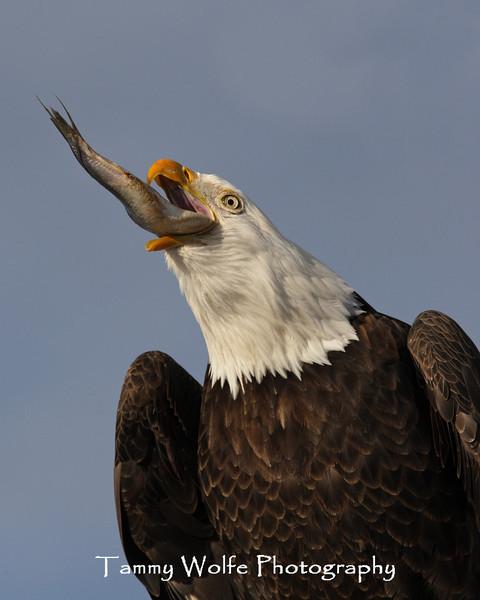 Bald Eagle Swallowing a Fish