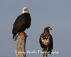 Bald Eagles, Adult and Immature