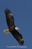 Bald Eagle in Flight with Outstretched Wings