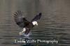 Bald Eagle (#7780)