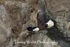 Bald Eagle in Flight (#7822)