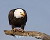 Bald Eagle (#6908)