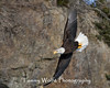 Bald Eagle in Flight (#7820)