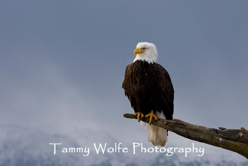 Bald Eagle (#5082)