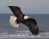 Bald Eagle in Flight (#5677)