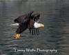 Bald Eagle in Flight (#7742)