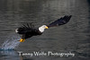 Bald Eagle with Catch (#7738)
