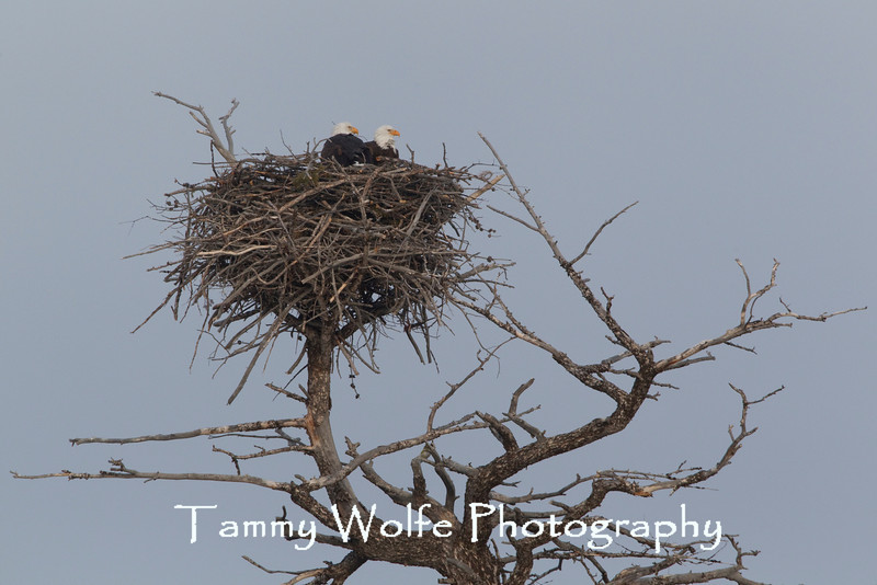 Bald Eagles on a Nest, Yellowstone National Park