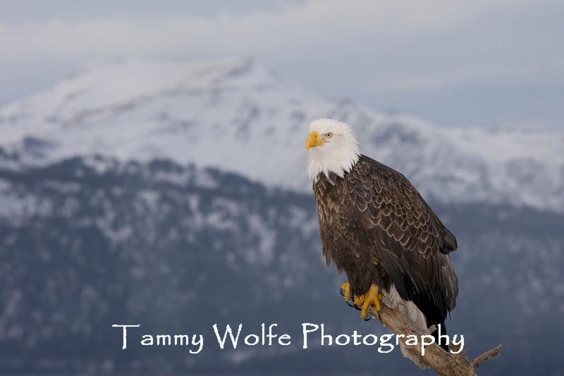 Bald Eagle (#4508)