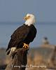 Bald Eagle (#4878)