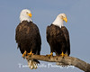 A Pair of Bald Eagles