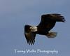 Bald Eagle in Flight (#8558)