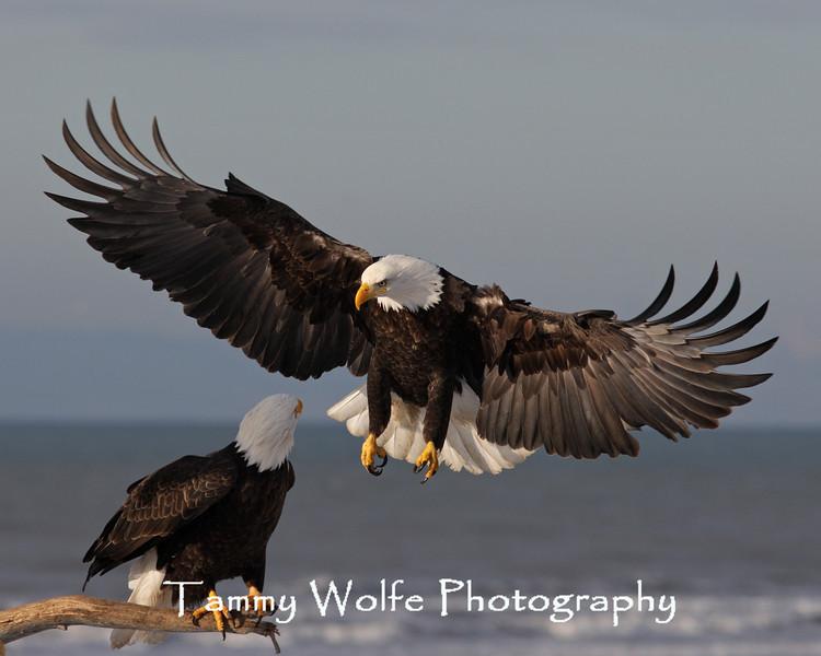 Bald Eagle (#5869)