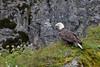 Bald Eagle (Haliaeetus leucocephalus), Alaska