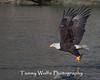 Bald Eagle in Flight (#7945)
