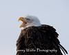 Bald Eagle Calling (#5394)