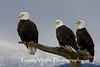 Three Bald Eagles on a Perch