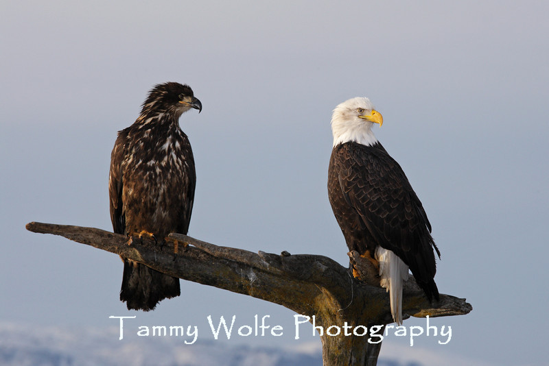 Bald Eagles, Immature with an Adult