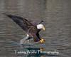 Bald Eagle (#7727)