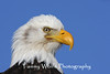 Bald Eagle Close-Up