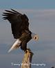 Bald Eagle (#5919)