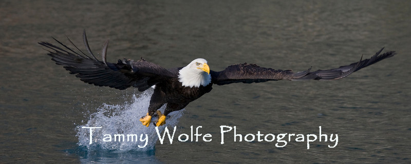 Bald Eagle Carrying a Fish