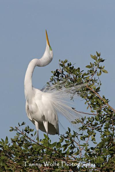 Great Egret Displaying