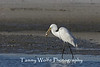 Great Egret with a fish