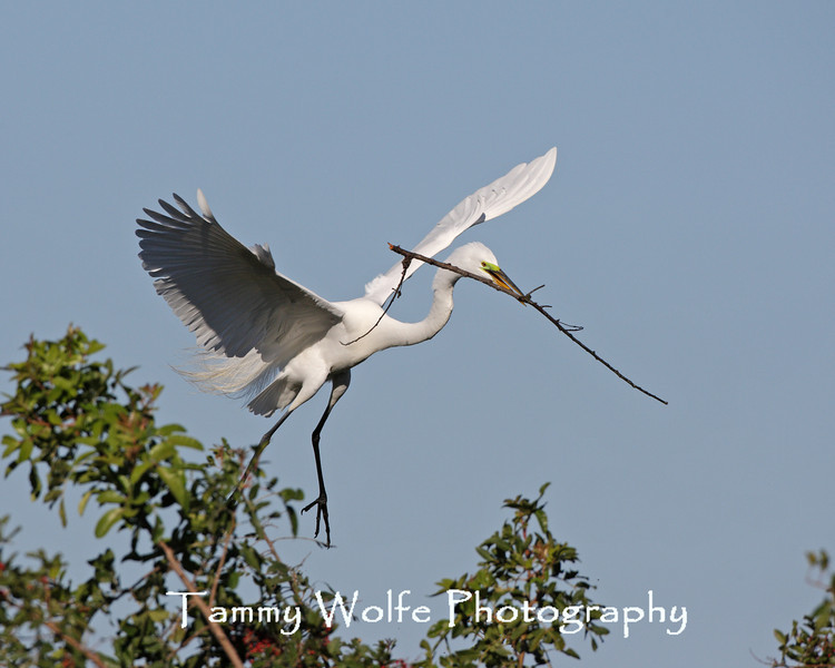 Great Egret with a Stick
