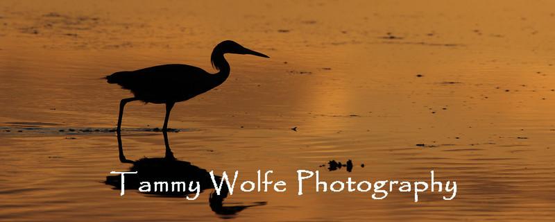 Reddish Egret Sunset Silhouette