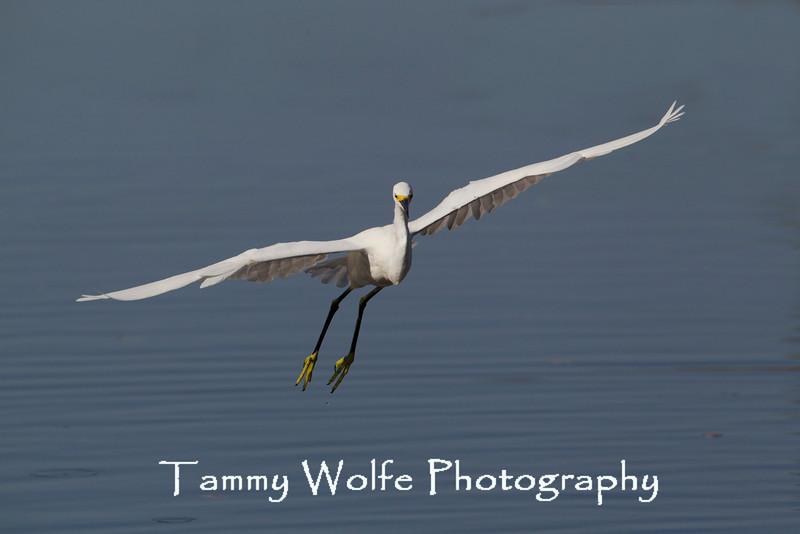 Snowy Egret (Egretta thula) in Flight