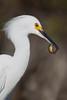 Snowy Egret (Egretta thula) with Fish