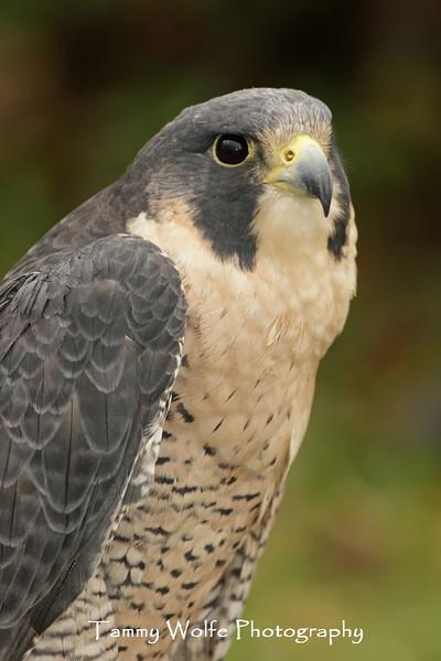 Peregrine Falcon Portrait*